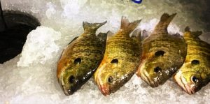 Ice fishing perch